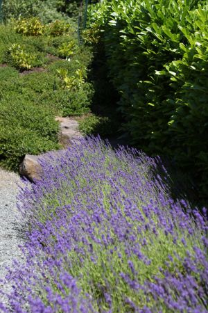 Evergreen shrubs, lavender, ground cover, and boulders make for an interesting stroll through the garden year round