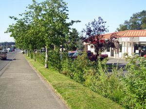 Raingarden plantings adjacent to existing street trees and lawn